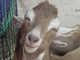 Senyum hewan qurban